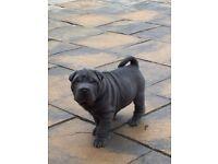 Shar Pei puppies Full KC registered