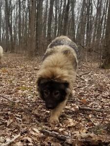Pure bred Caucasian Ovcharka pups *1 male left*