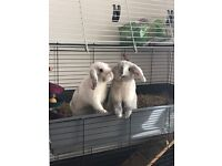 Two Rabbits, free to a good home