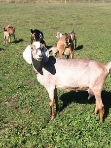 Nubian and Nubian cross goats for sale