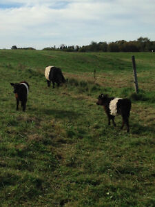 Belted Galloways For Sale in Wakefield, QC