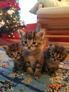 Kittens - Ready for CHRISTMAS DAY