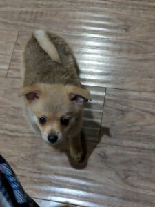 Pomemerian mix Puppy for sale