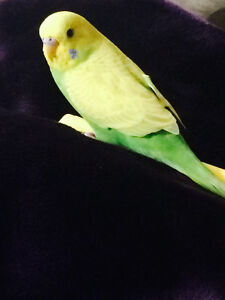 2 Beautiful Budgies looking for a new home