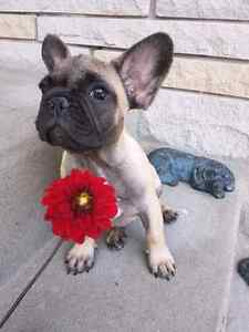 BLACK French Bulldog /Bouledogue francaise