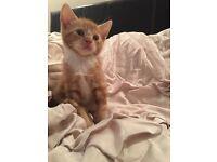 Amazing ginger kitten with big blue eyes