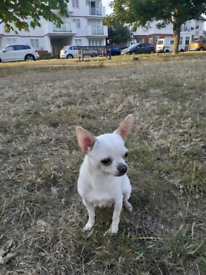 Full Bread Miniature Chihuahua