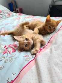 Ginger male kittens