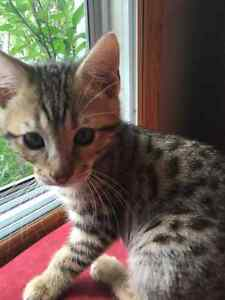 Spotted Bengal kitten