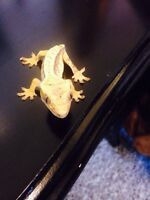 Crested gecko ( 3 month old)