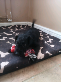 Patterdale terrier pup