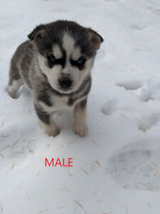 Chiots husky au yeux bleu a vendre/husky puppies with blue eyes