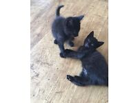 2 black tabby kittens