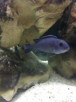 Malawi Cichlids For Sale, Mbuna, Peacocks, Haps