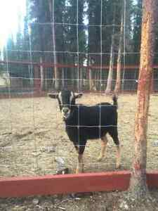 Yearling Goat FOR SALE