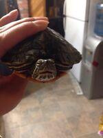 Red ear sliders turtles