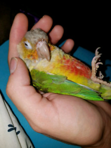 Young beautiful pineapple conure