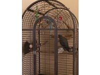AFRICAN GREY 5 Year old tame