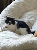 """Looking for Foster or Forever Home for Male Cat """"Waylon"""""""
