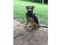 Young German Shepard cross for sale