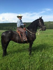 6 year old Friesian Mare
