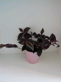 Small trailing houseplant in a ceramic pot.