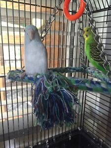 Bonded parrotlet and budgie