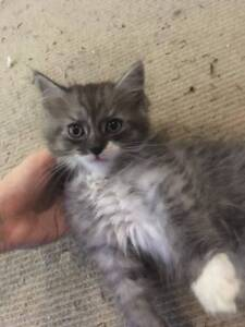 PersianX Kittens for sale!