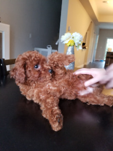One Pure Miniature Male Poodle Puppy