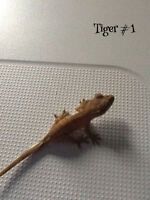 Three crested gecko babies for sale