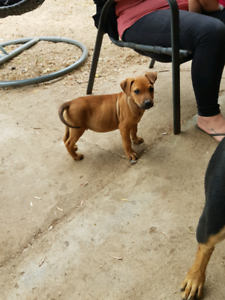 Puppy for forever home only