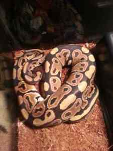 SNAKE  Ball Python BEST OFFER everything included  London Ontario image 7