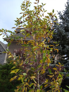 Young Crab Apple Tree