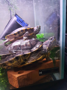 2 red ear slider turtles with 75 gallon tank