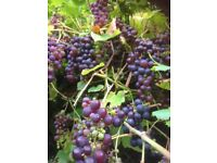Free red grapes for wine making