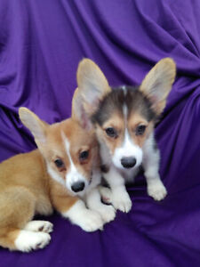 Mini Corgi Puppies For Sale >> Corgi Adopt Dogs Puppies Locally In British Columbia