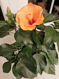 Hibiscus plant £8.75