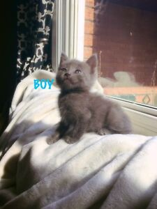 *** Stunning Russian Blue beauties ready for homes **