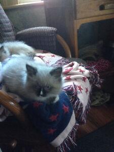 Ragdoll / Himalayan kittens
