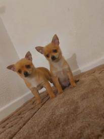 Pomeranian x Chihuahua