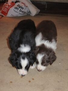 CBCA REGISTERED BORDER COLLIE PUPPIES - 5 WEEKS