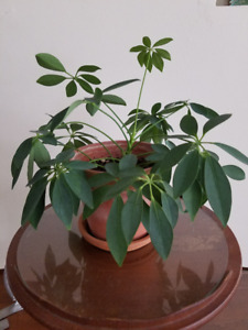 BEAUTIFUL YOUNG HOUSE PLANT IN TERRACOTTA POT