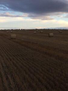 Rye straw bales