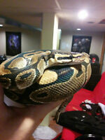 3 year old ball python with tank, heater, accessories