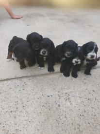 Poogle puppies