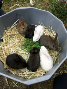 Gaint Flemish bunnies for sale