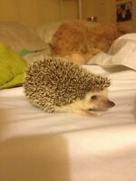 Selling hedgehog