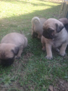 PUG PUPPIES - 2 males left