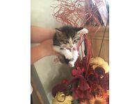 Only one little female kitten left !