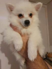 Kc pomeranian male puppy